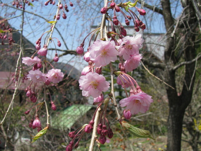 梅桜 (1).JPG