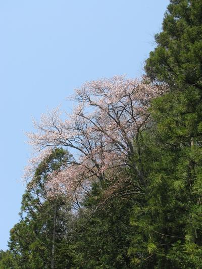 梅桜 (2).JPG