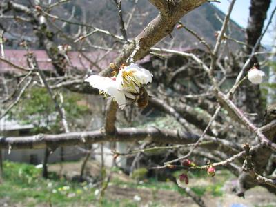 梅桜.JPG