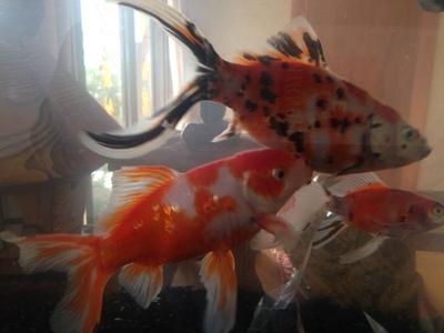 20150418金魚.JPG